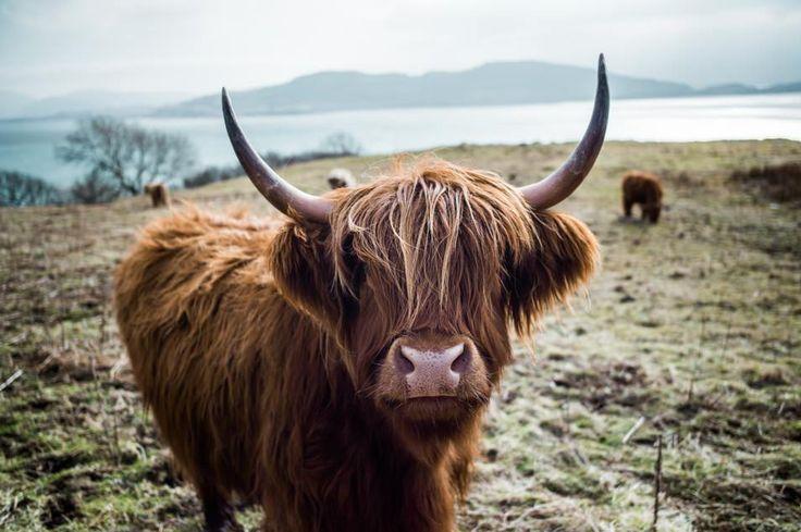 Ecosse, highland cow