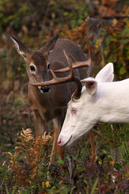 Albino white tailed buck