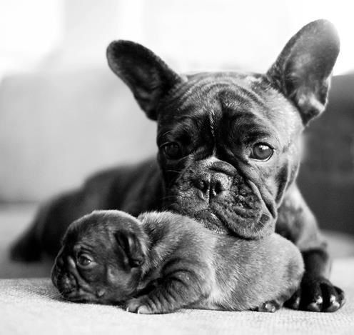 Proud Mom and her French Bulldog Puppy.