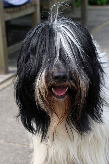 schapendoes dog photo | Schapendoes | Dog Love