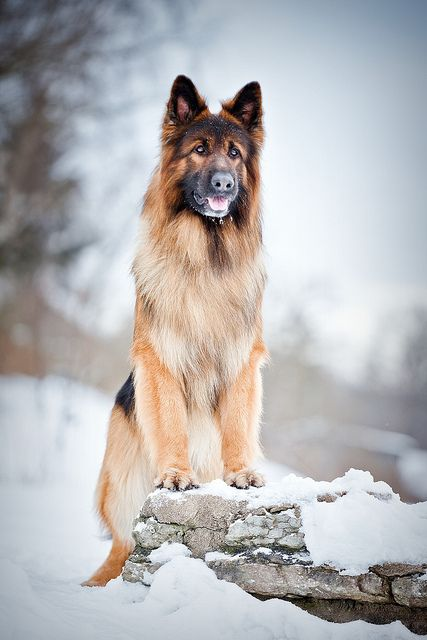 This big boy is a long haired German Shepherd. You don't see often and I'm sure his people always ask the stupid question is your dog mixed with collie. People always ask me that for 14 years now about my sweet baby.