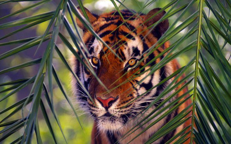 тигр, хищник, бенгальский тигр
