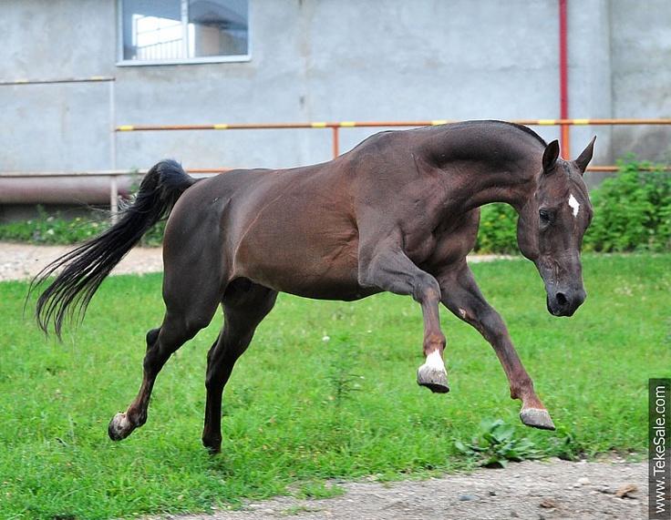 Akhal-teke horses for sale - Gek(Kepderi - Gappara 9)