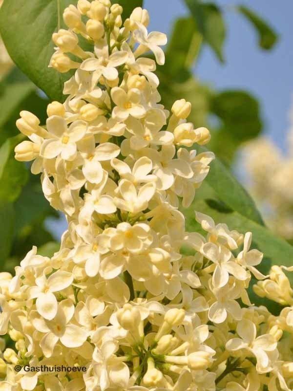 Gele sering kopen. Sering Syringa vulgaris Primrose met opvallend gele bloemen.