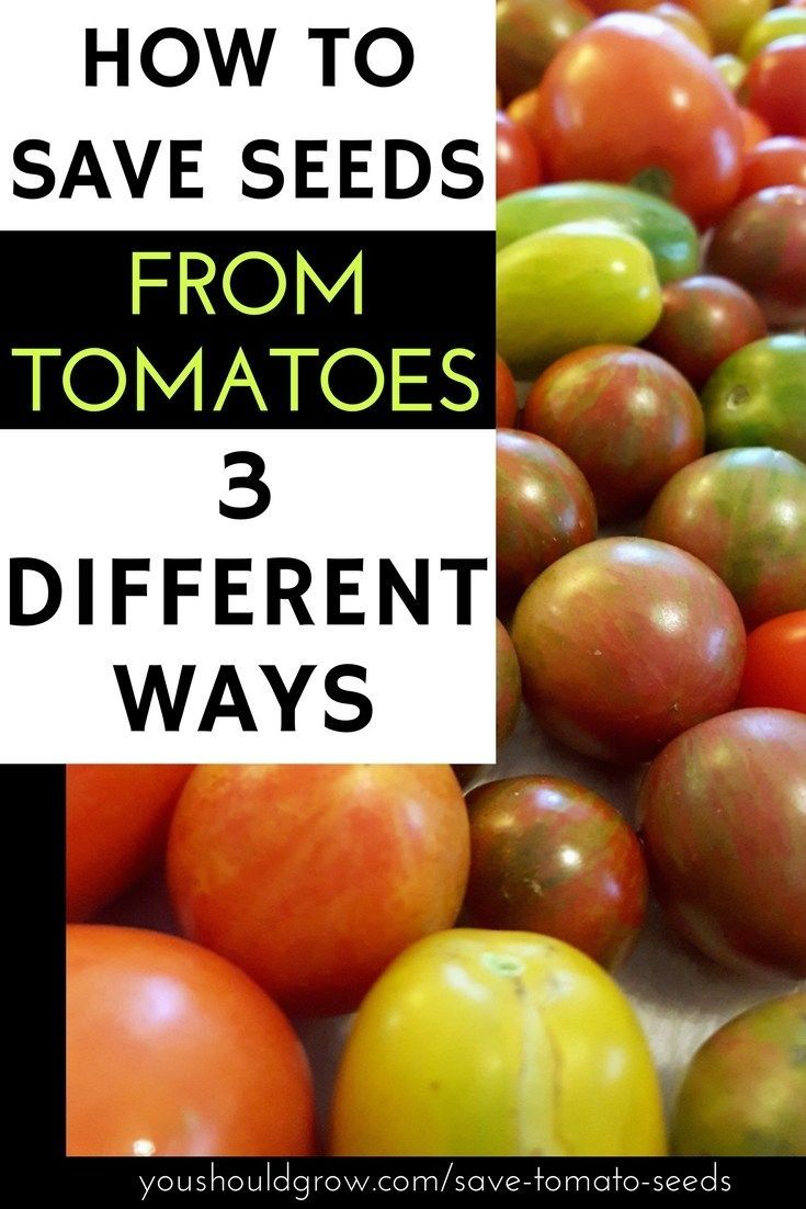 How to save tomato seeds its easier than you think you