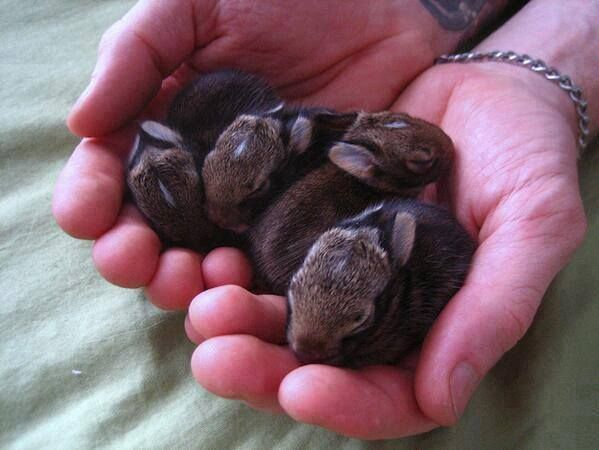 Wild cottontail rabbits. They are not normally this docile.