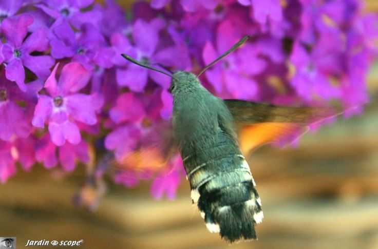 Le Moro-sphinx, lépidoptère champion du vol stationnaire