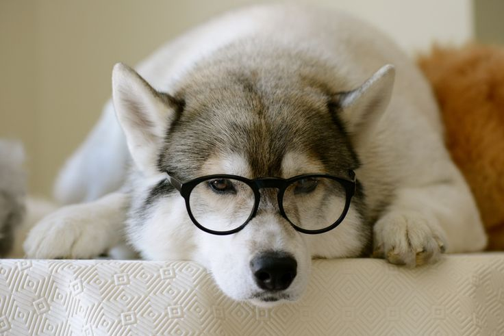 hipster husky: Beauty Photography, Glasses, Smarties Article, Husky, Art Hipster, Hipster Animal, Cool Photo, Dogs Hipster, Adorable Animal