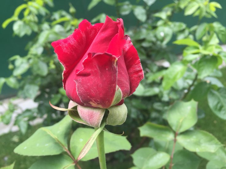 This is one of my red Roses.