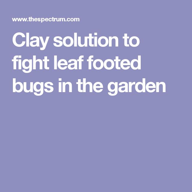 Clay solution to fight leaf footed bugs in the garden