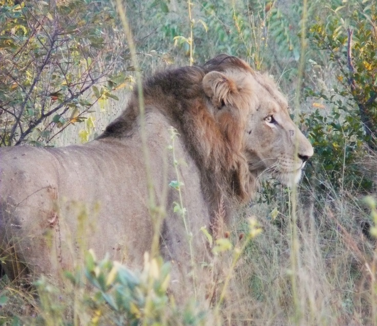 Lion. Kruger National Park. South Africa.