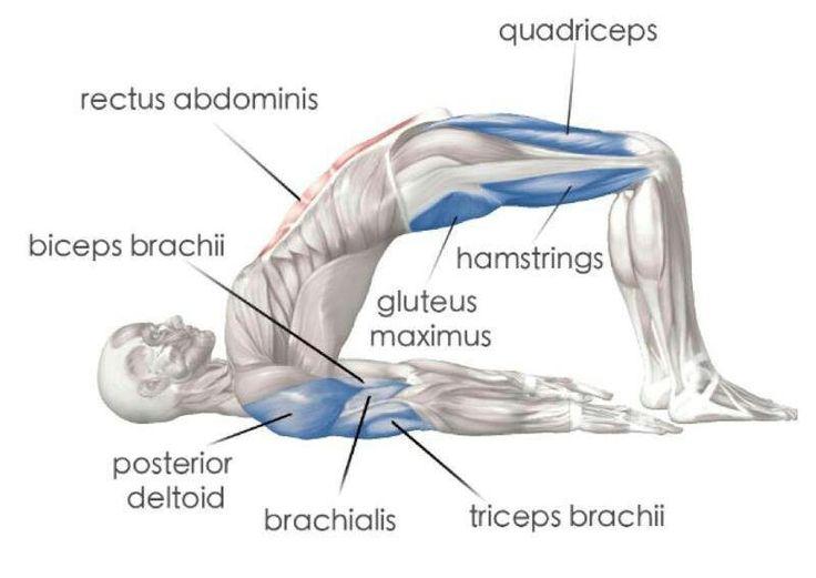 The Anatomy Of Bridge Pose Beautiful Blank Slate Yoga