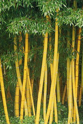 Golden bamboo