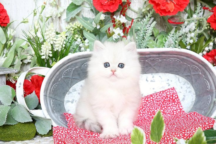 Molly - Click Here - Ultra Rare Persian Kittens For Sale - (660) 292-2222 - Located in Northern Missouri (Shipping Available)Ultra Rare Persian Kittens For Sale – (660) 292-2222 – Located in Northern Missouri (Shipping  Available)