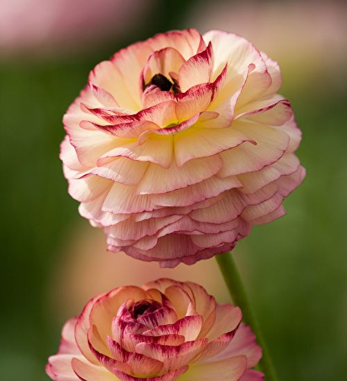 Buy Ranunculus 'Friandine Rose Picotee' - the very best mix of colours. Truly beautiful. Buy today.