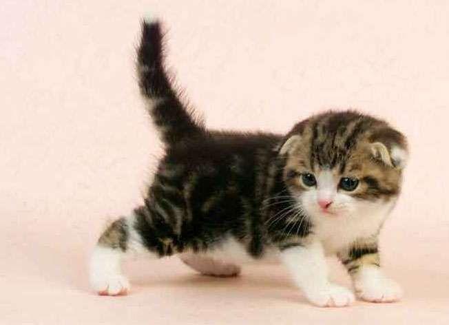 Scottish Fold Munchkin cat Price : Munchkin cats