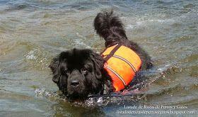 Foto de un perro Terranova adiestrándose para sus labores de perro de rescate. Raza de perros (Photo of a dog Newfoundland trained for their tasks of rescue. Breed of dog)