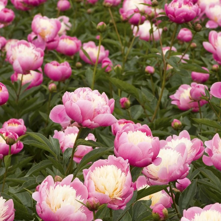 Bowl Of Beauty Herbaceous Peony