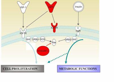 O hormônio liberador de hormônio de crescimento-GHRH estimula a secreção do hormônio de crescimento-GH ou somatotrofina-STH pelos somatotrófos, para os quais é trófico. (o nível trófico é o nível de nutrição a que pertence um indivíduo ou uma espécie, que indica a passagem de energia entre os seres vivos num ecossistema). Os neurônios secretores de hormônio liberador de hormônio de crescimento-GHRH estão localizados no núcleo arqueado.
