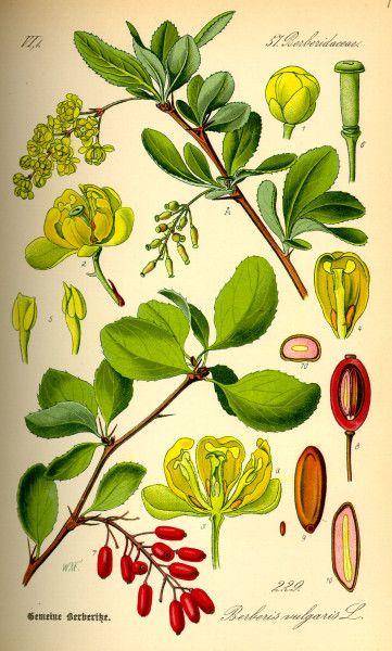 Berberitze - die wunderschöne Vitamin-C-Spenderin