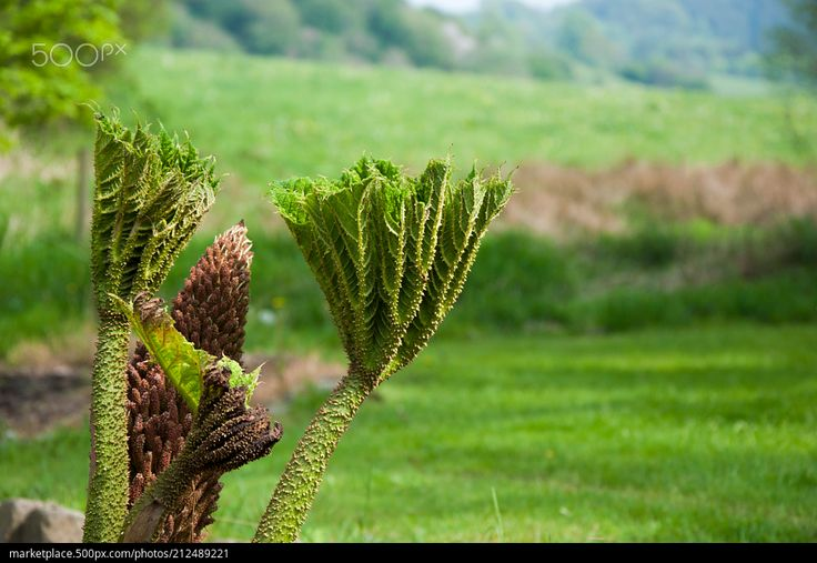 Strange Plant Life  High quality model: https://500px.com/photo/212489221  © Rau Hartmann Galaxy  #photography #field #flowers #red #spring #flower #light #strange #plants #beautiful #leaf #plant #grass #green #garden #mysterious #weird #interesting #blooming