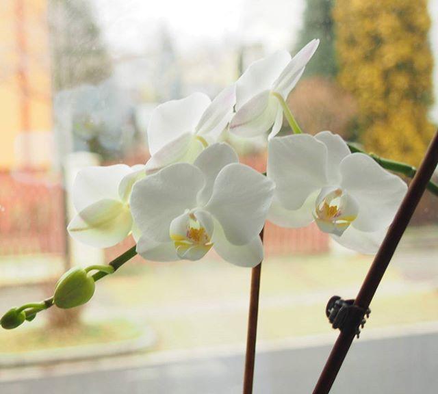 Nie mam za wiele roślin w mieszkaniu. Po prostu nie chcą mi rosnąć i co coś przyniosę,  ginie śmiercią naturalną. .. oprócz storczyków,  bo te rosną mi jak w tropikalnym lesie 😉 #storczyk #orchidea #white #home #homedesing #flower