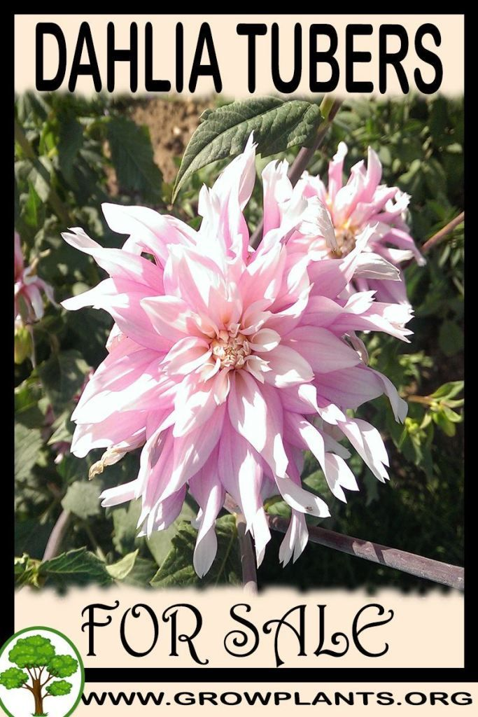 Dahlia Tubers For Sale Gardening All Need To Know Before Buy This Plant Tips Amount Of Water Sun Exposure Planting Seas Plants Dahlias For Sale Plant Sale