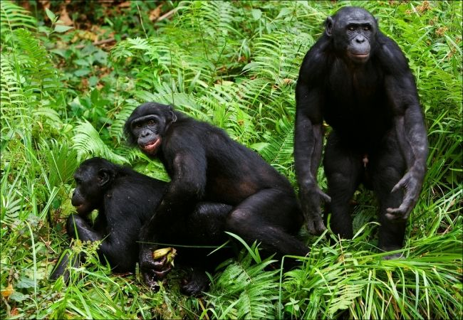 Great Apes threatened again, this time by habitat loss