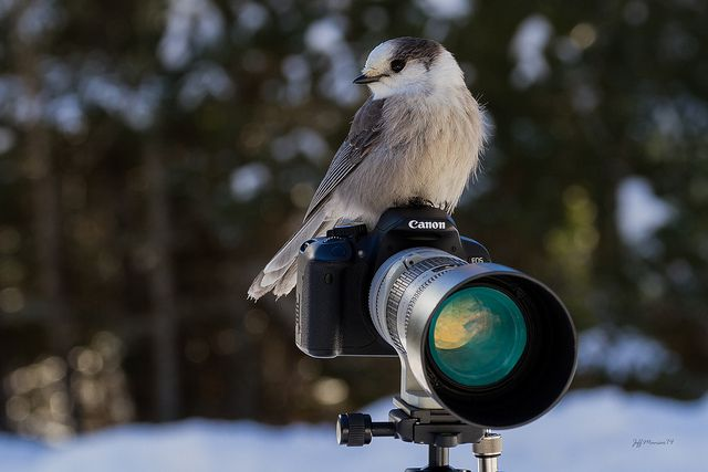 Gray Jay in Algonquin Park - photo by Jeff Manser