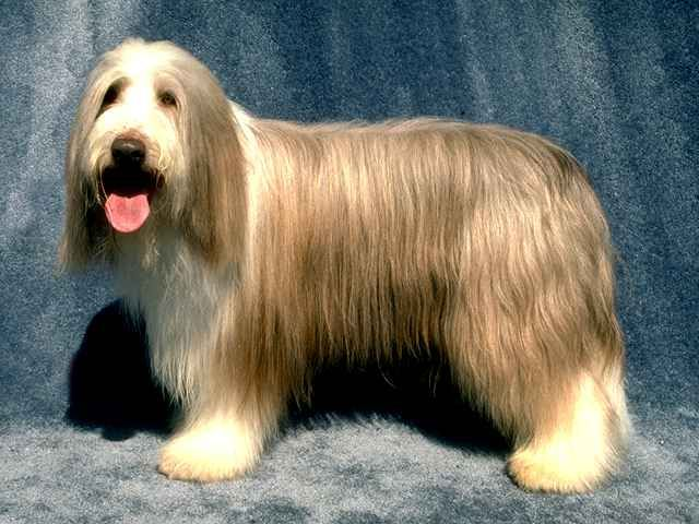 Bearded collie photo | Bearded Collie (Collie barbudo) Collie Rough (Collie de pelo largo ...