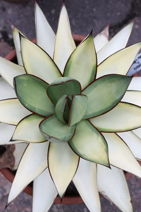 Shadow Dancer Century Plant for sale buy Agave romanii 'Shadow Dancer'  http://www.plantdelights.com/index/page/category/category_id/57380