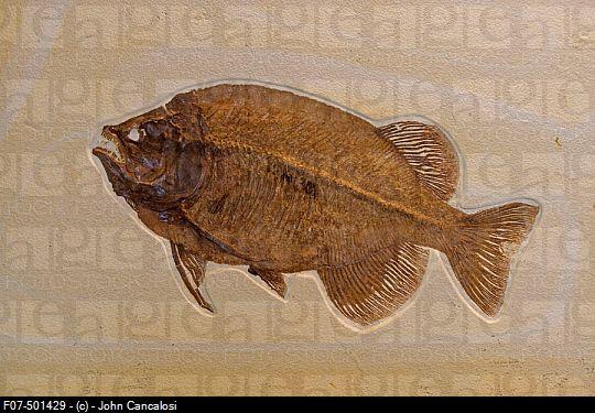 Green River Fossil Fish | (Phareodus encaustus) - Green River formation, Wyoming, USA.