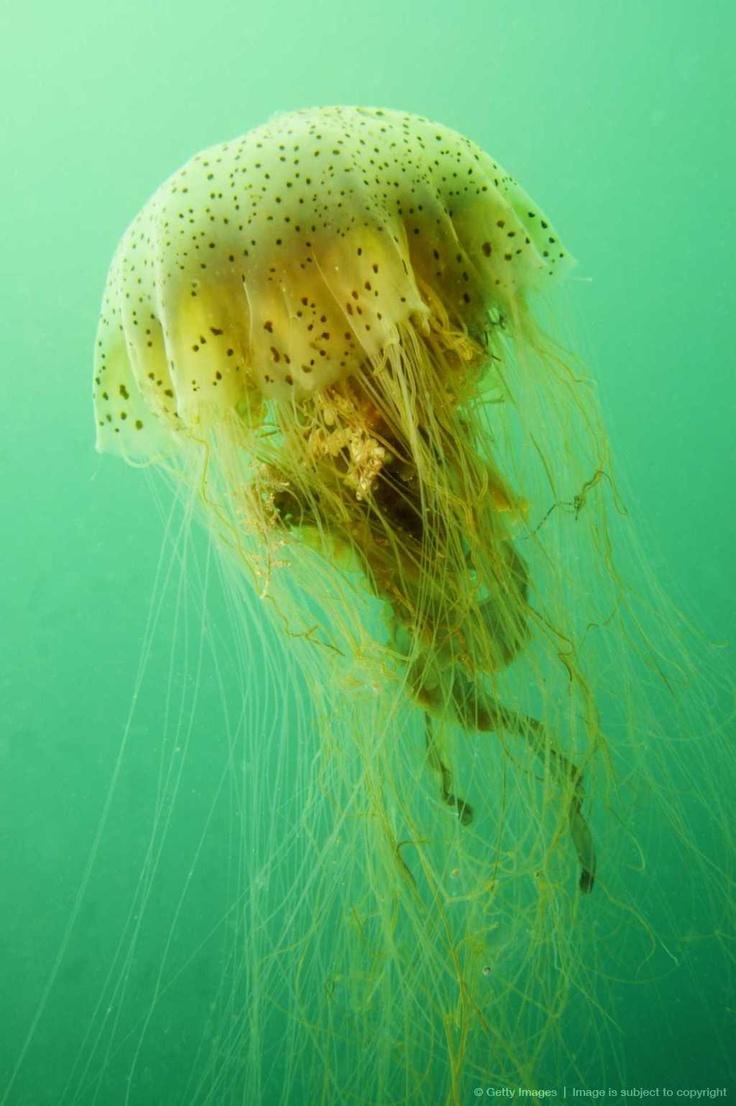 Jellyfish in green