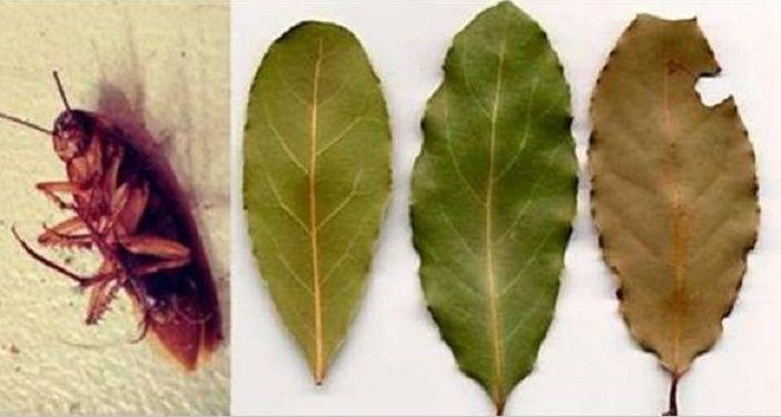 Coloque esta folha nos cômodos de sua casa e elimine todas as baratas em pouco tempo | Cura pela Natureza