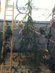 Handraised #birds at Willetton.Huge variety of Handraised Birds at our Willetton store. Cockatiels, Rainbow Lorikeets, Sun Conure, Kakariki, Alexandrine & Pink & Grey Galah.