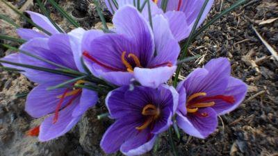A+sáfrány+az+optimizmus+és+a+jó+hangulat+virága.Gyönyörű+napsütéssel+indult+az+idei+sáfrányszüret.+Kibontották+virágaikat+a+valódi+sáfrányok.++A+virágzás+ideje+alatt+minden+nap+szedni+kell,+mert+a+le+nem+szedett++virág+másnapra+elhervad+értékes+bibeszálaival+együtt.…
