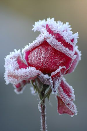 Frosted Rose: Winter, Beautiful, Roses, Red Rose, Flowers, Garden, Photography