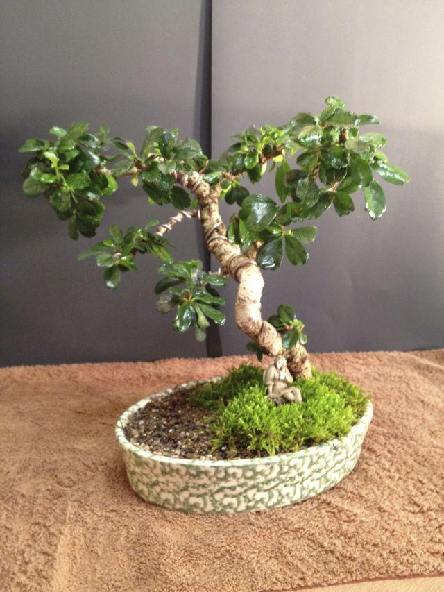 102 Best Images About Bonsai On Pinterest Trees Bonsai