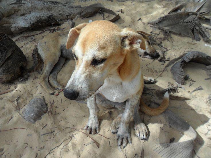 Beach Dogs in the Dominican Republic