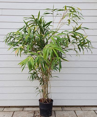 Die besten 25+ Pseudosasa japonica Ideen auf Pinterest - japanischer garten bambus