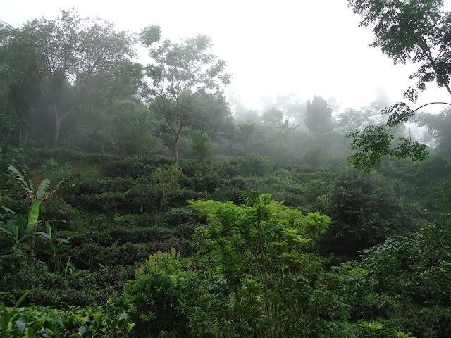 yunnan puerh trees