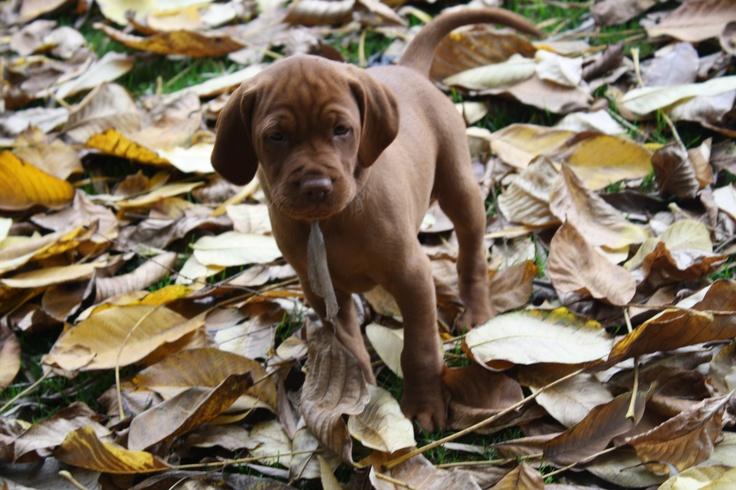 braco hungaro en otoño
