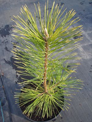 Pinus thunbergiii Ogon