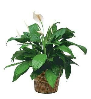 Medium+Spathiphyllum+Plant