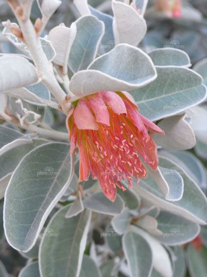 Diplolaena grandiflora, commonly known as Wild Rose or Tamala Rose, is a shrub which is endemic to Western Australia. It occurs on limestone outcrops and ridges in an area between Geraldton and North West Cape