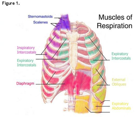 10 best labortesztek images on pinterest human anatomy respiratory rate in response to exercise ccuart Choice Image