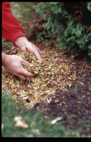 Using leaves as mulch