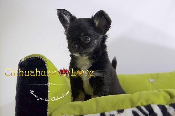 Chihuahuas Love - Chihuahuas de Pelo Largo. Variedad de Chihuahuas.