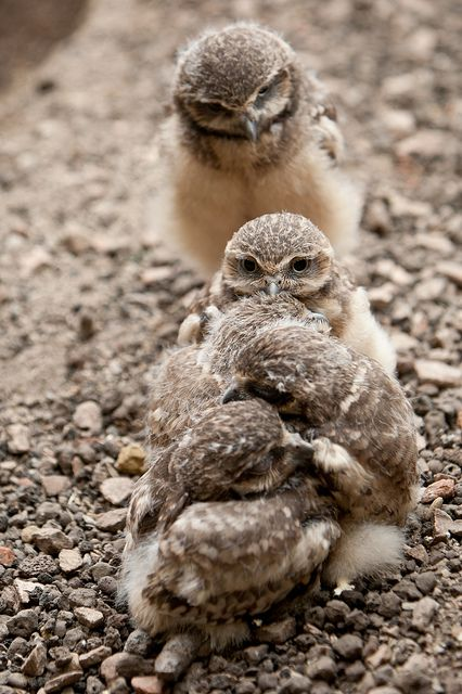 Burrowing Owl Chicks by A.J. Haverkamp