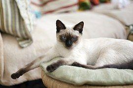 Katze, Thai Katze, Blaue Augen, Ansicht